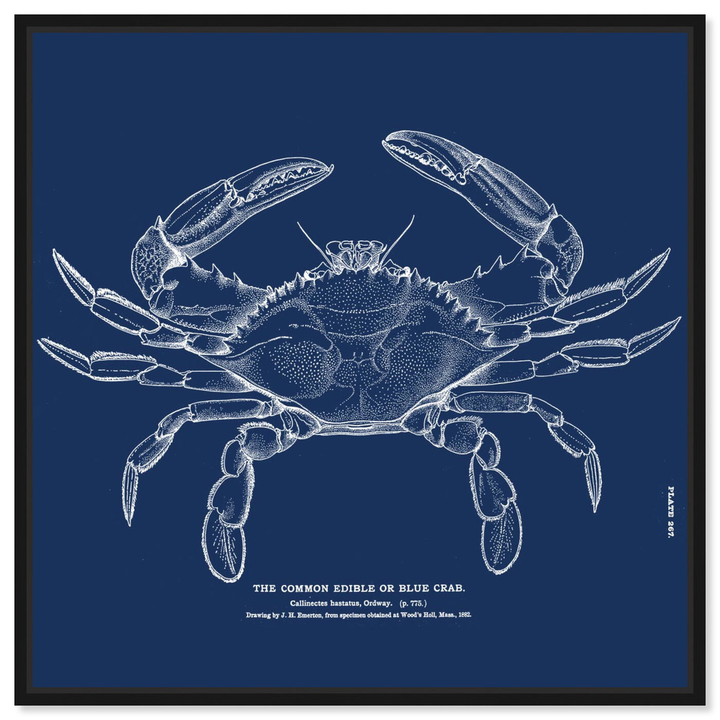 Front view of The Common Blue Crab - Blue featuring nautical and coastal and marine life art.
