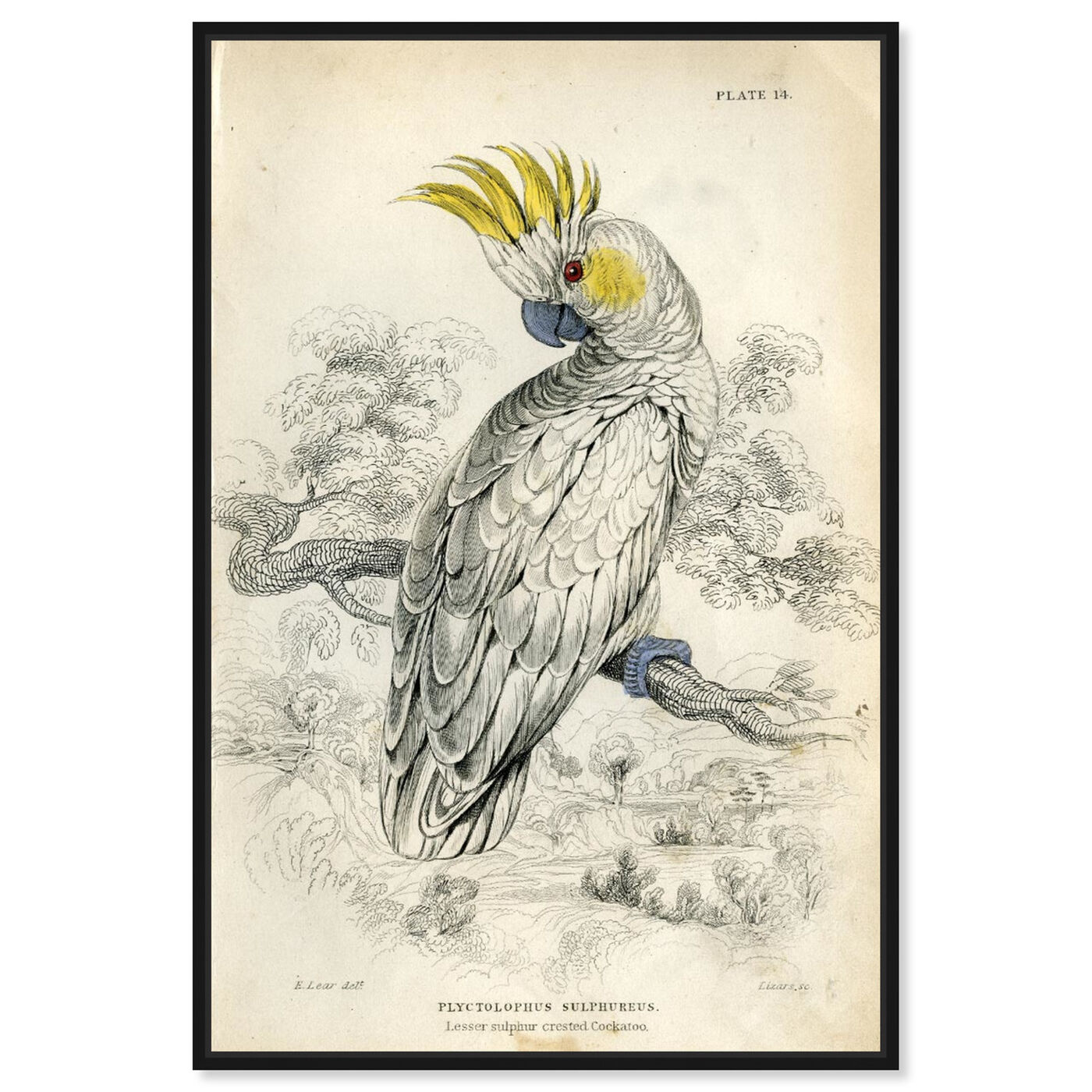 Front view of Sulphur Cockatoo - The Art Cabinet featuring animals and birds art.
