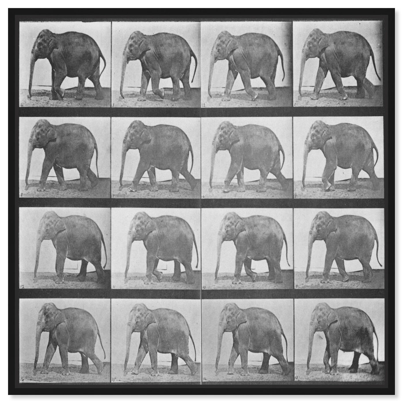 Front view of Elephant in Motion featuring animals and zoo and wild animals art.