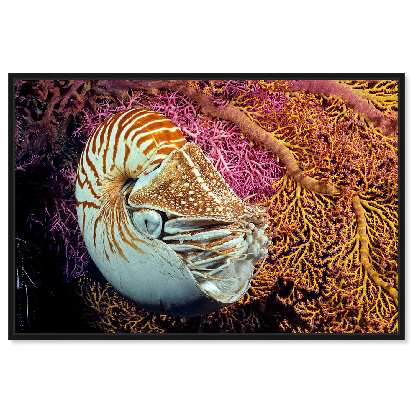 Front view of Chambered Nautilus by David Fleetham featuring nautical and coastal and marine life art.