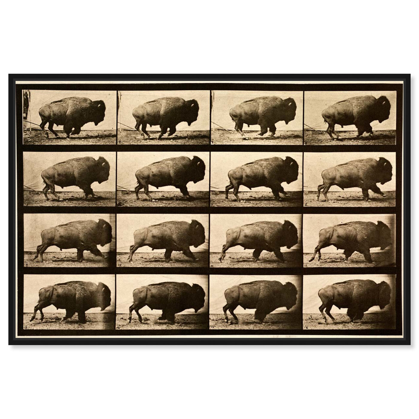 Front view of Buffalo In Motion featuring animals and zoo and wild animals art.