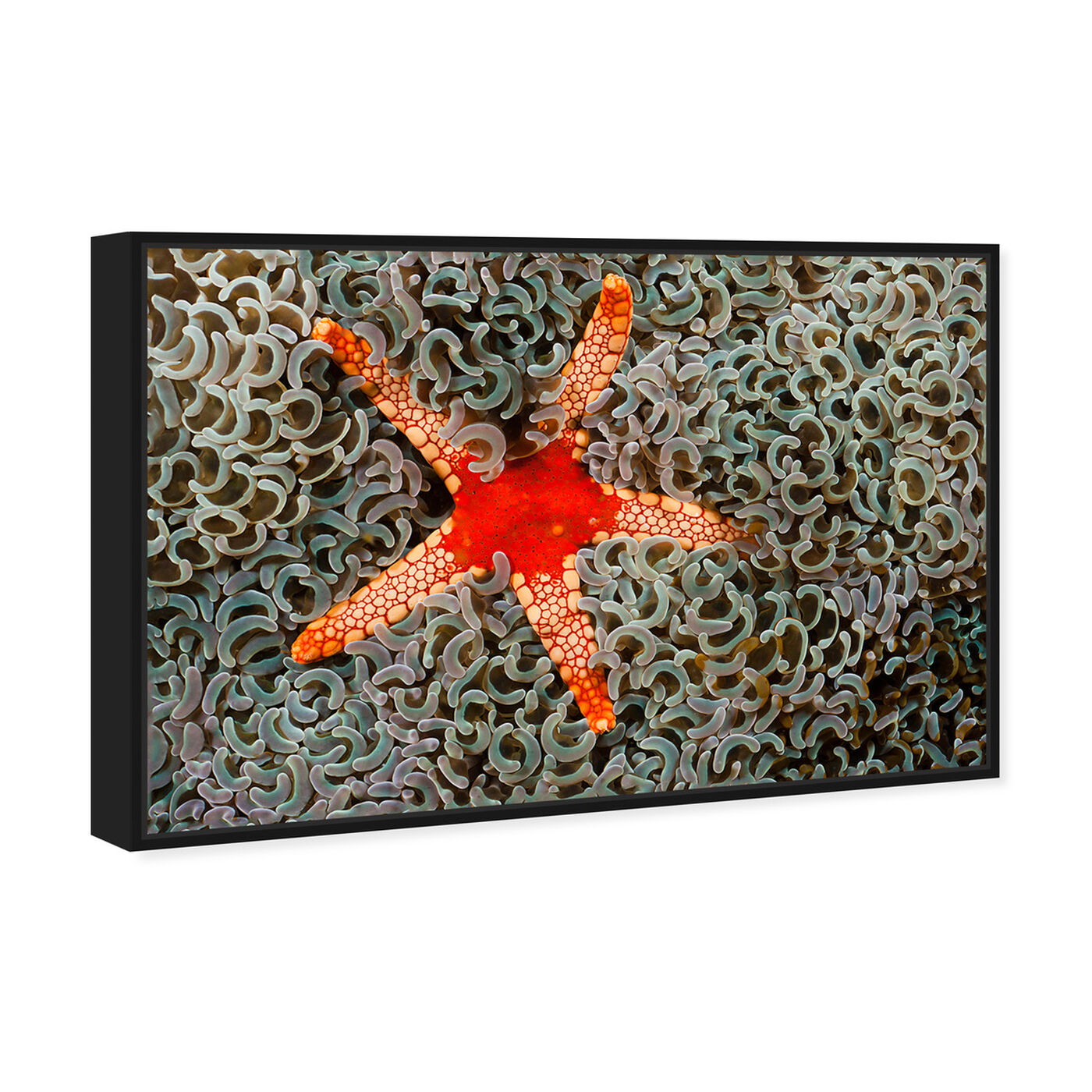 Angled view of Necklace Seastar by David Fleetham featuring nautical and coastal and marine life art.