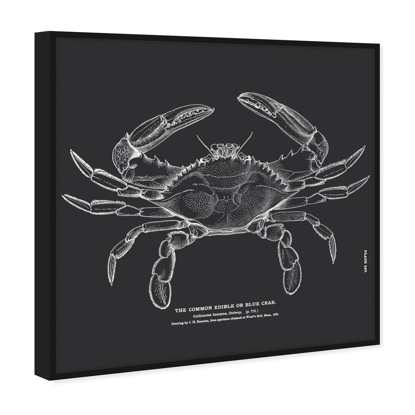 Angled view of The Common Blue Crab featuring nautical and coastal and marine life art.