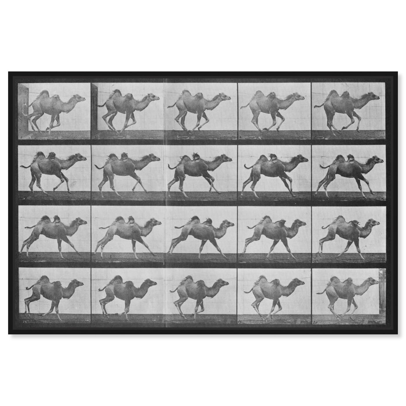Front view of Camels in Motion featuring animals and zoo and wild animals art.