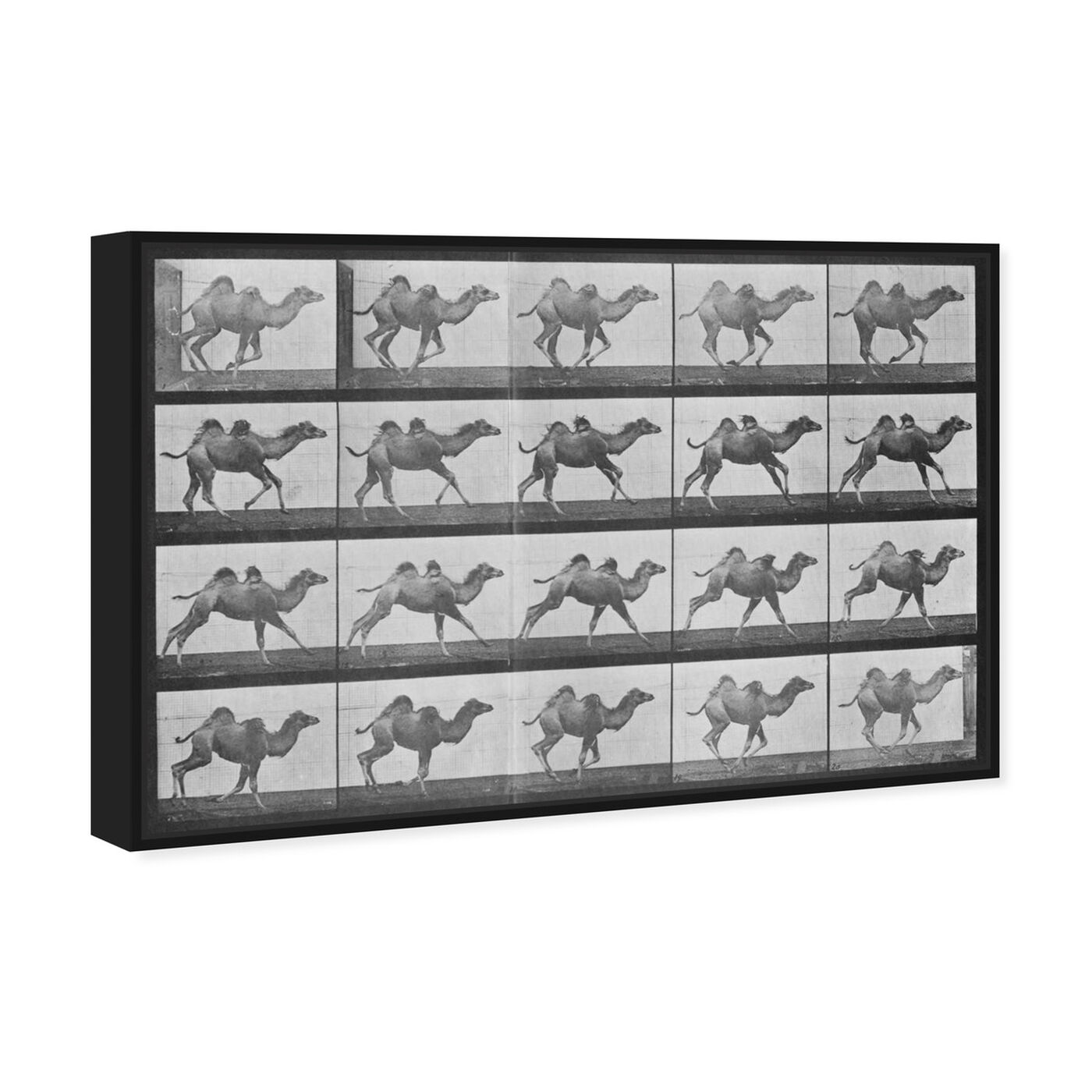 Angled view of Camels in Motion featuring animals and zoo and wild animals art.