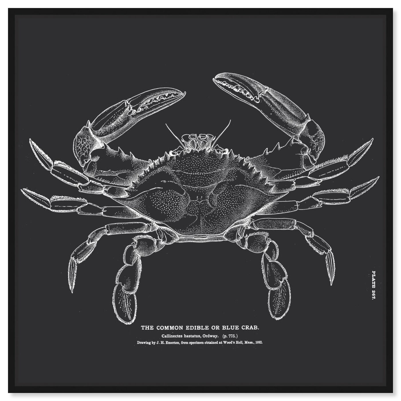 Front view of The Common Blue Crab featuring nautical and coastal and marine life art.