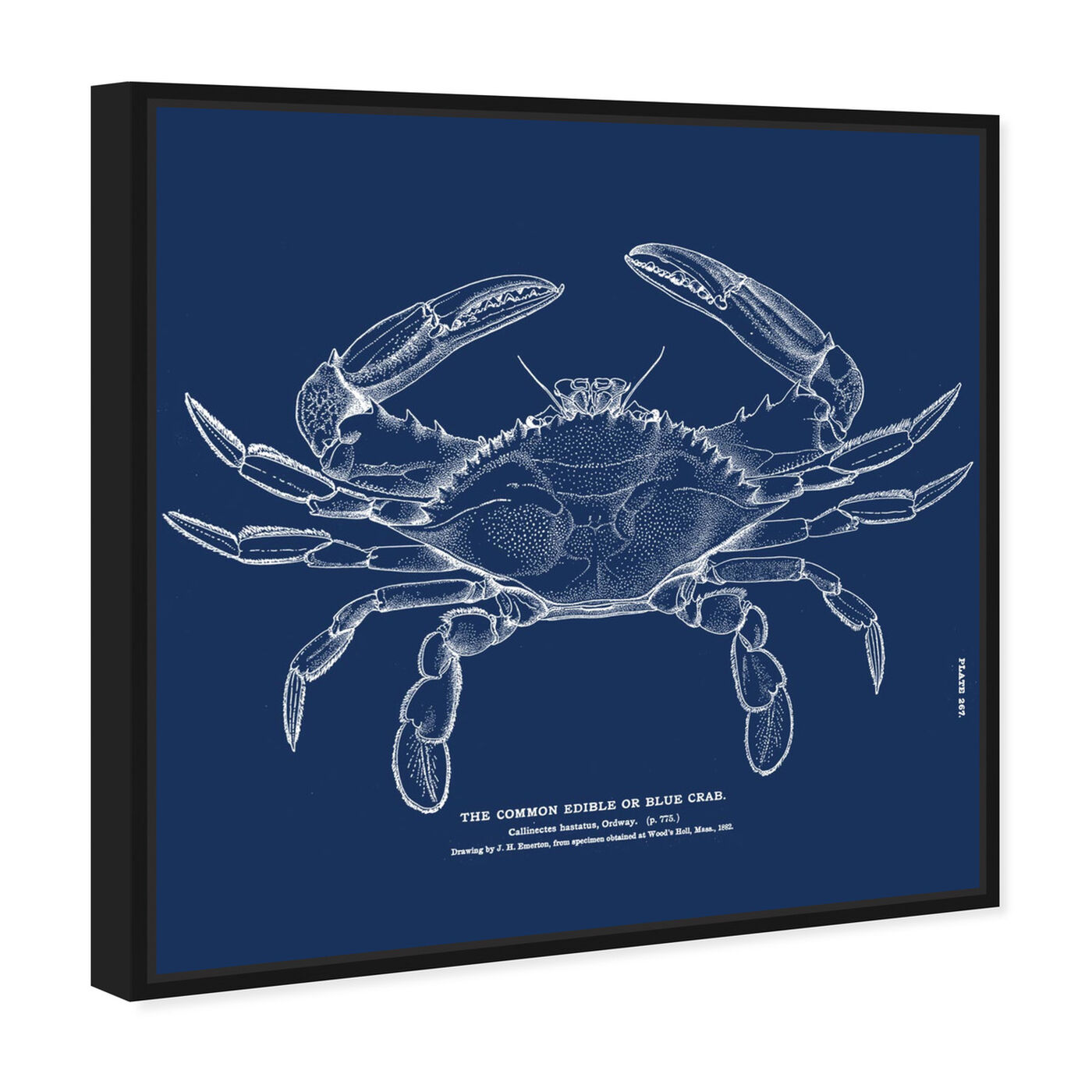 Angled view of The Common Blue Crab - Blue featuring nautical and coastal and marine life art.