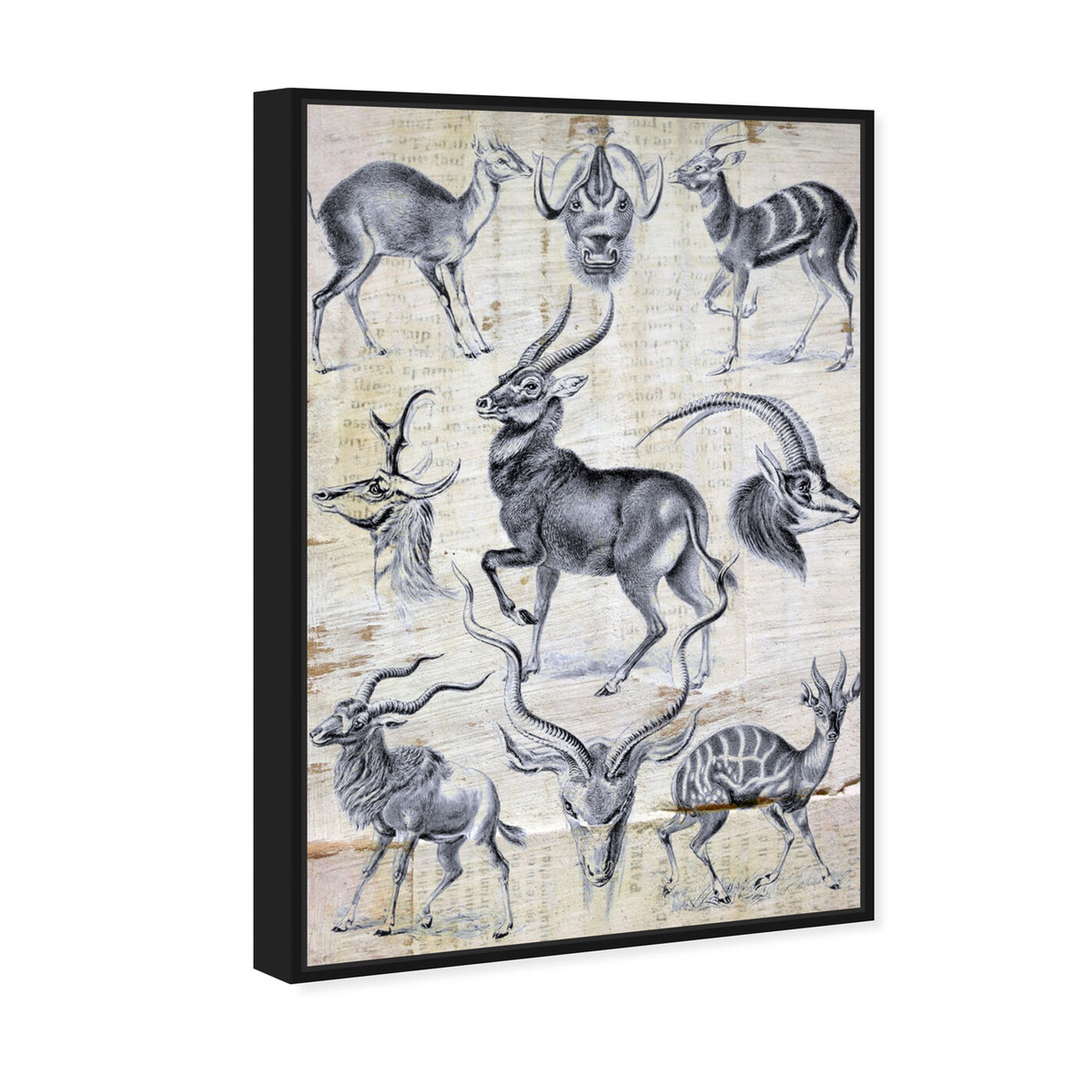 Angled view of Haeckel - Antalopina Study featuring animals and zoo and wild animals art.