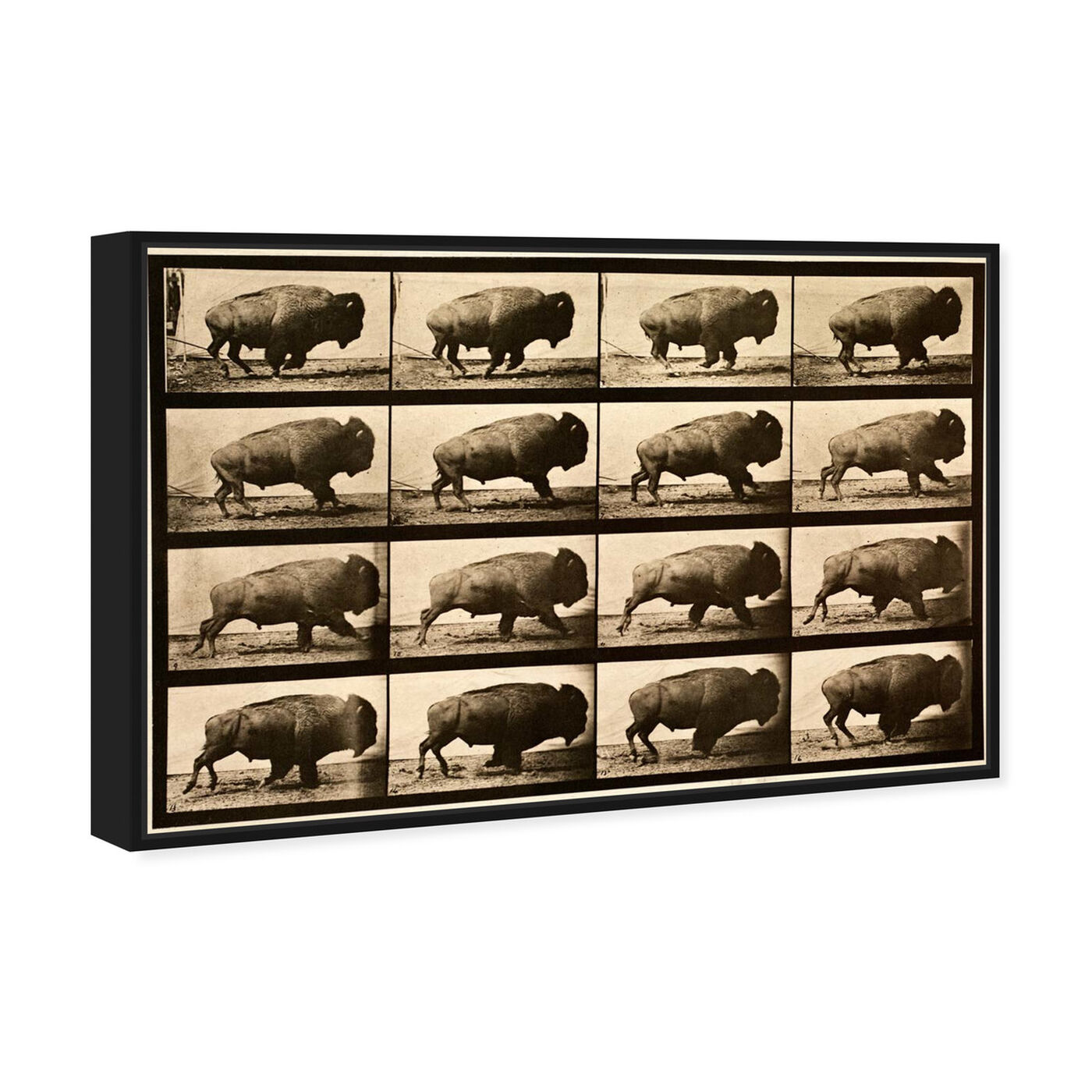Angled view of Buffalo In Motion featuring animals and zoo and wild animals art.