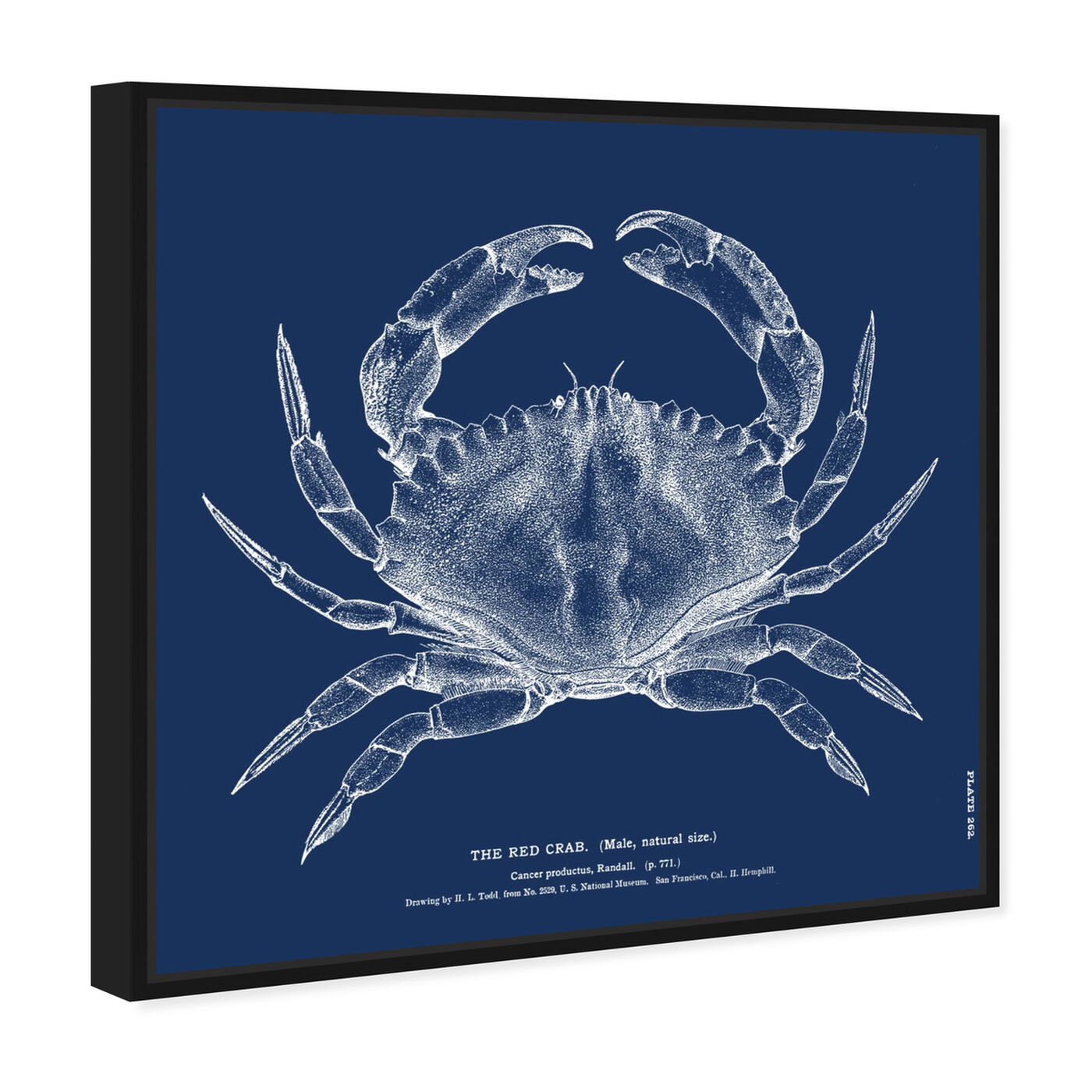 Angled view of The Red Crab - Blue featuring nautical and coastal and marine life art.