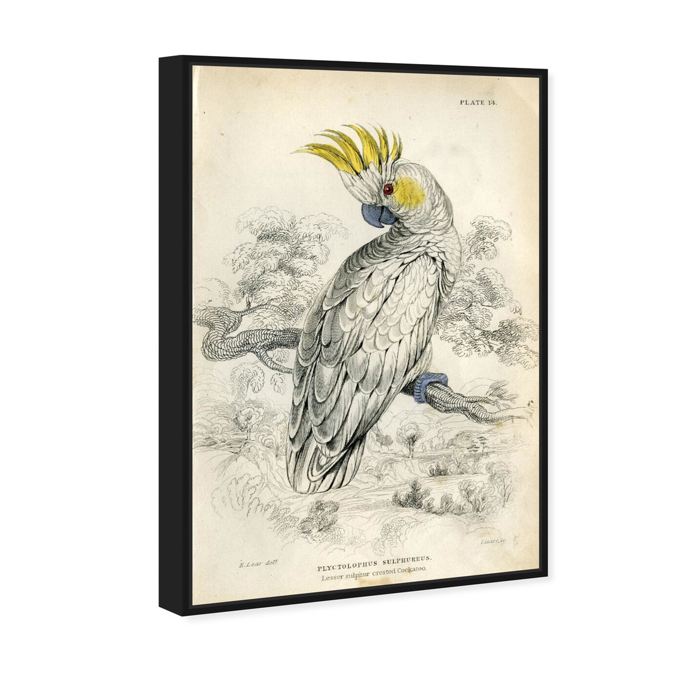 Angled view of Sulphur Cockatoo - The Art Cabinet featuring animals and birds art.